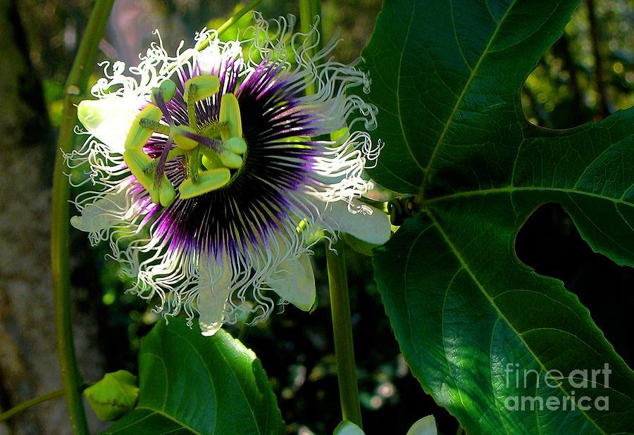 Passion Fruit Flower Photograph - Lilikoi by James Temple