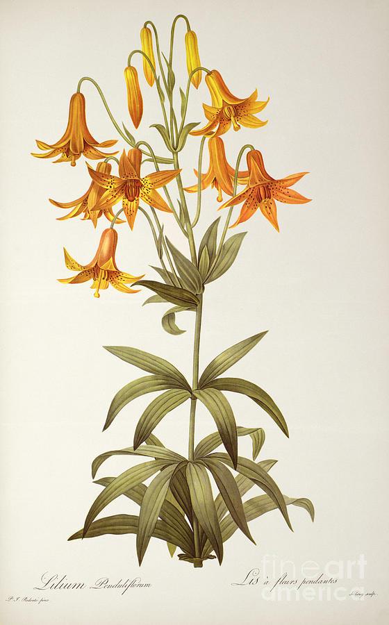 Lilium Painting - Lilium Penduliflorum by Pierre Joseph Redoute