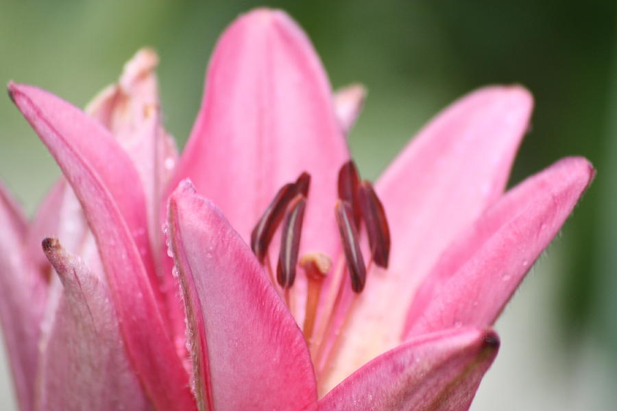 Lillies Photograph - Lillies by Angie  Wise
