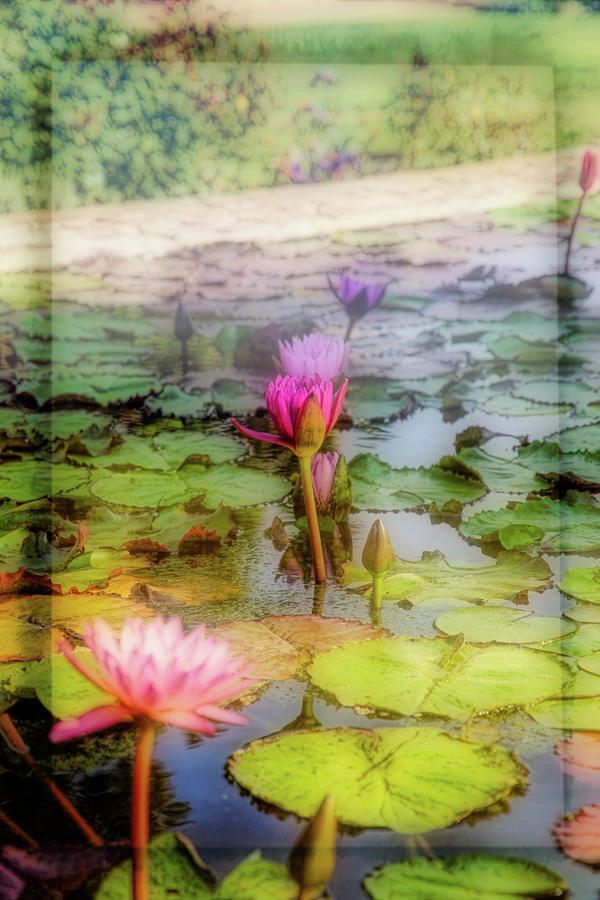 Lillie's Photograph - Lillies Of Capistrano by Michael Hope