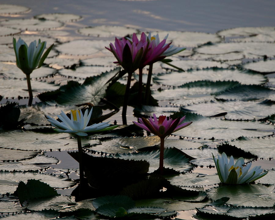 Lilly Photograph - Lillies On The Lake by Kimberly Camacho
