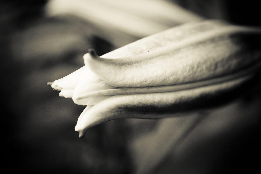 Flower Photograph - Lilly At Birth by Martina Heart