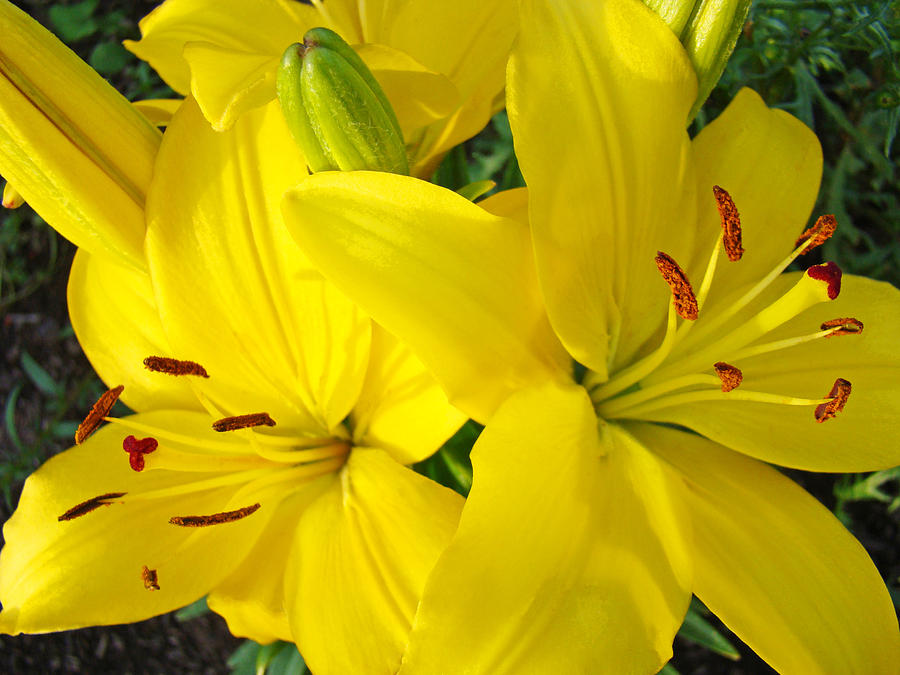 Lilies Photograph - Lilly Flowers Art Prints Yellow Lilies Floral Baslee Troutman by Baslee Troutman