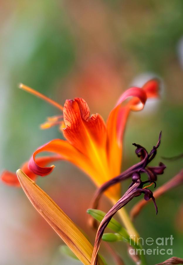 Lilium Photograph - Lilly Flowers by Nailia Schwarz
