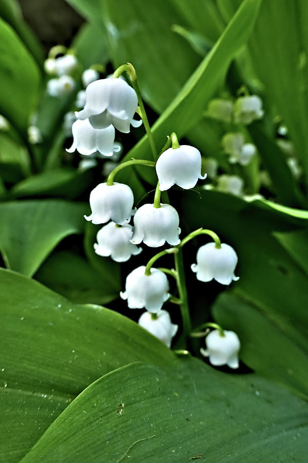 Lilly of the Valley Flowers by Jeremy Hayden