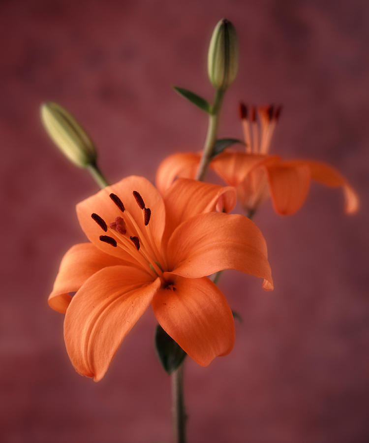 Flora Photograph - Lily 1 by Joseph Gerges
