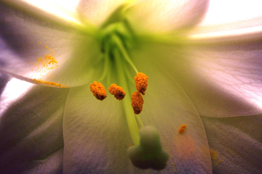 Lily Photograph - Lily 1 by Yvonne Ayoub