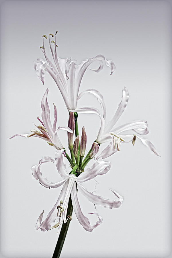 Lily Photograph - Lily 7 by Robert Ullmann