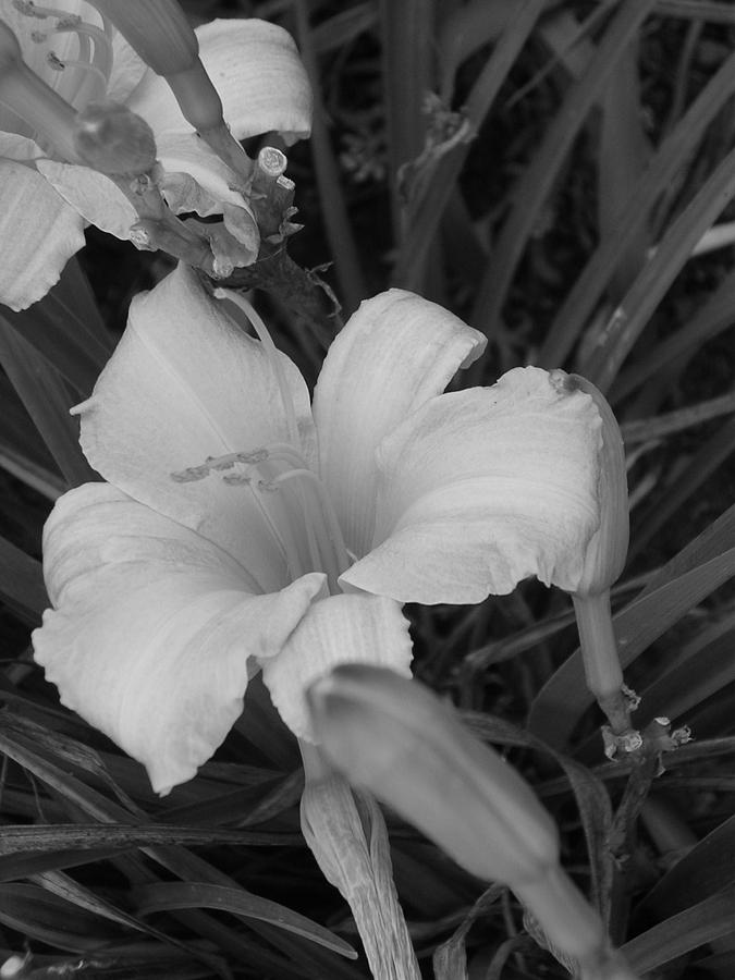Flower Photograph - Lily by Audrey Venute