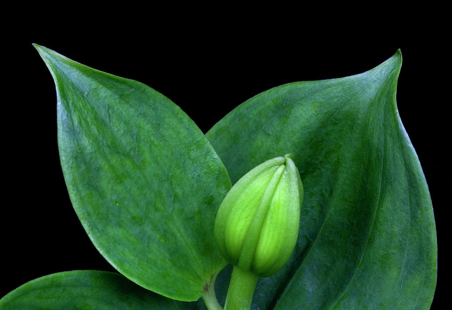 Flowers Photograph - Lily Bud by George Sanquist