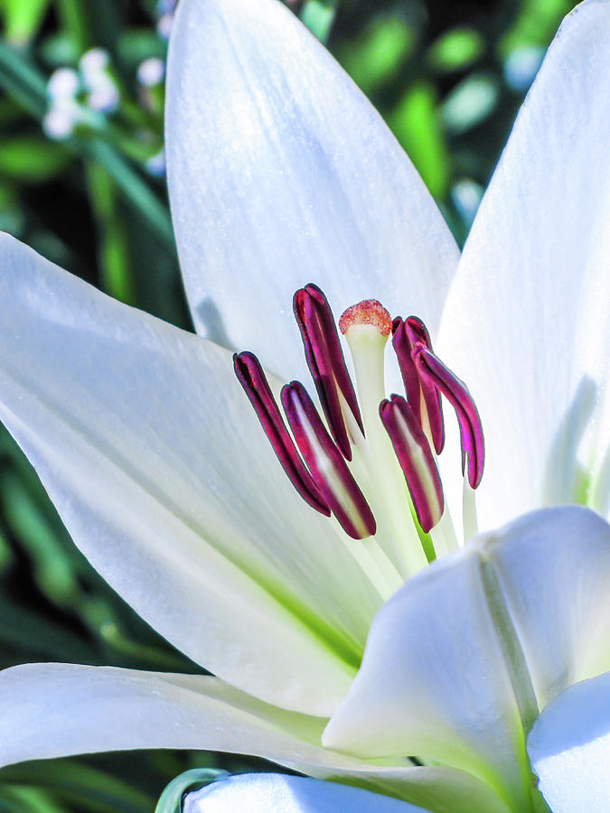 Lily Close-up by Kenneth F Konjevich
