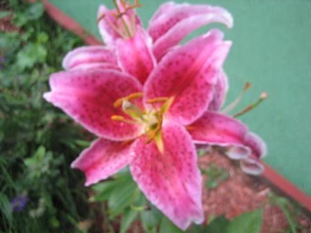 Flower Photograph - Lily by Joanna Baker - Jenkins