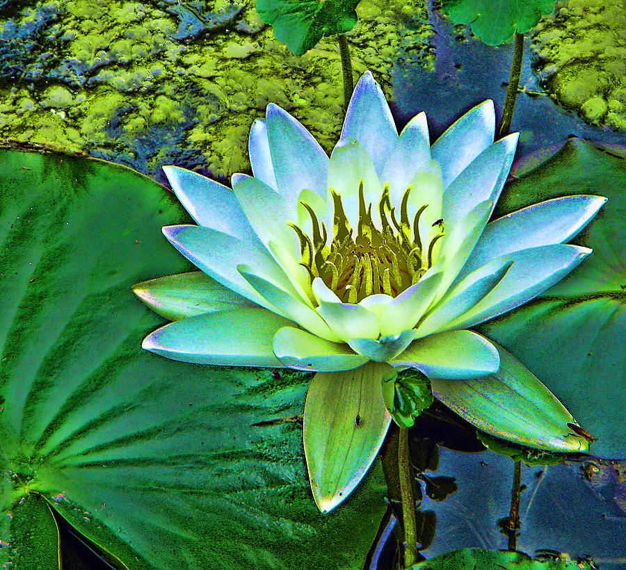 Water Lily Photograph - Lily by Laurie Prentice