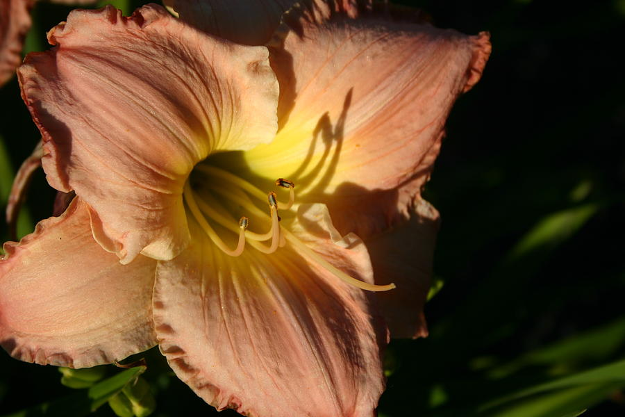 Flowers Photograph - Lily  by Linda  Stover