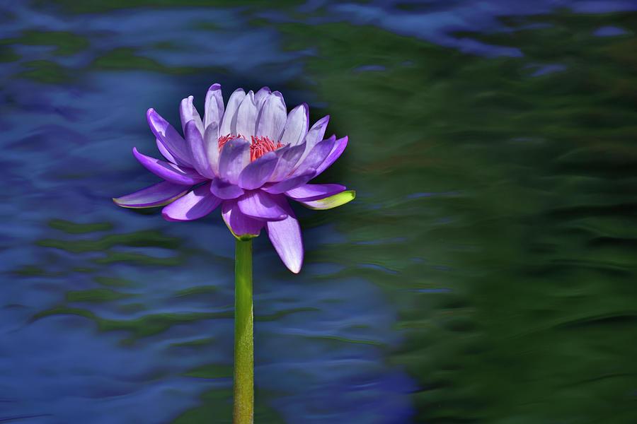 Lily Love by Carol Eade