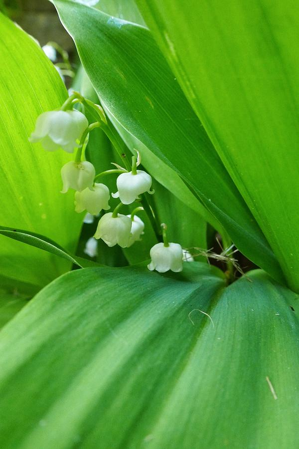 Lily of the Valley by Jeremy Hayden