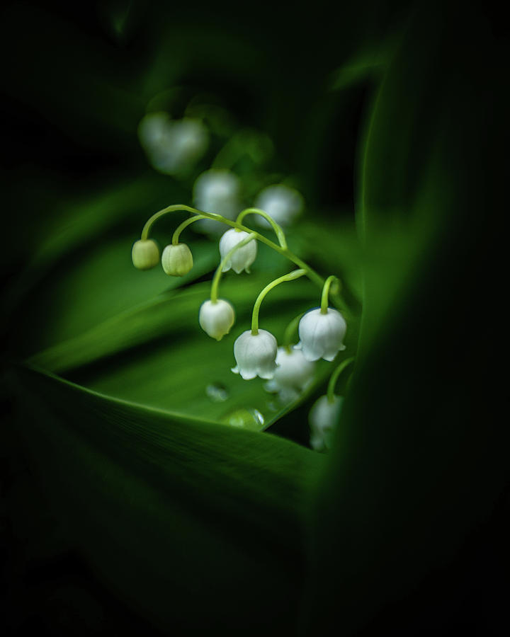 Lily of the Valley by Pamela Taylor