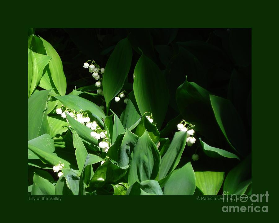 Lily of the Valley by Patricia Overmoyer