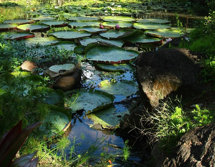 Tropical Photograph - Lily Pad Pond by Halle Treanor
