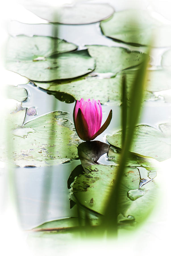 Lily Pad Red - 1001 by G L Sarti