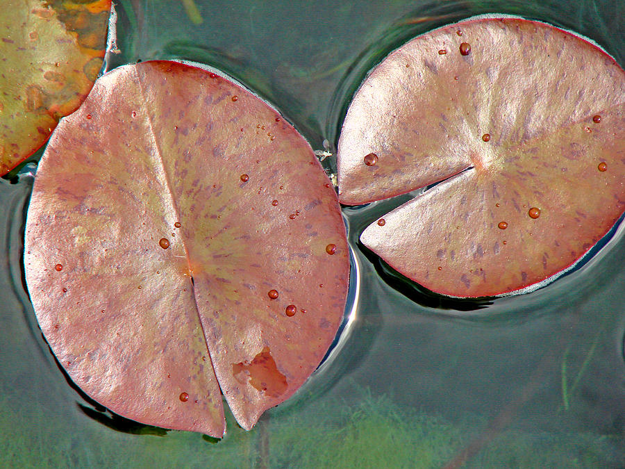 Lily Pads Photograph - Lily Pads 1 by Diana Douglass