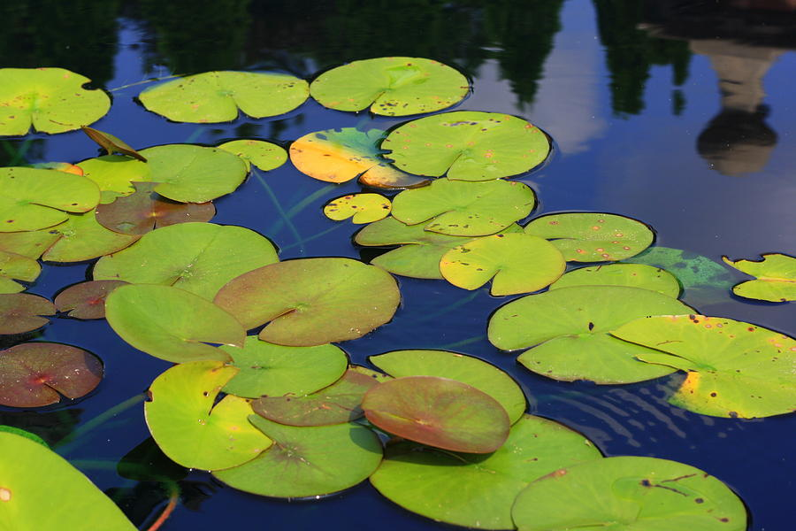 Lily Pad Photograph - Lily Pads by Allison Whitener