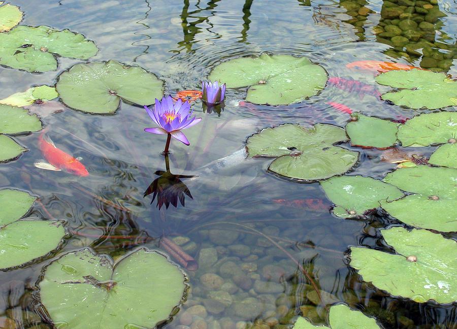 Pond Photograph - Lily Pads And Koi 1 by Gary Bartoloni