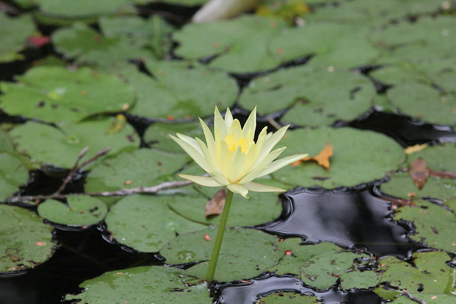 Spring Hill Photograph - Lily Pads by Deborah Kennedy