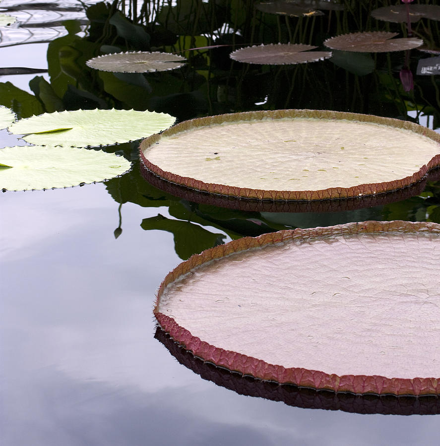Pond Photograph - Lily Pads by Mary Haber