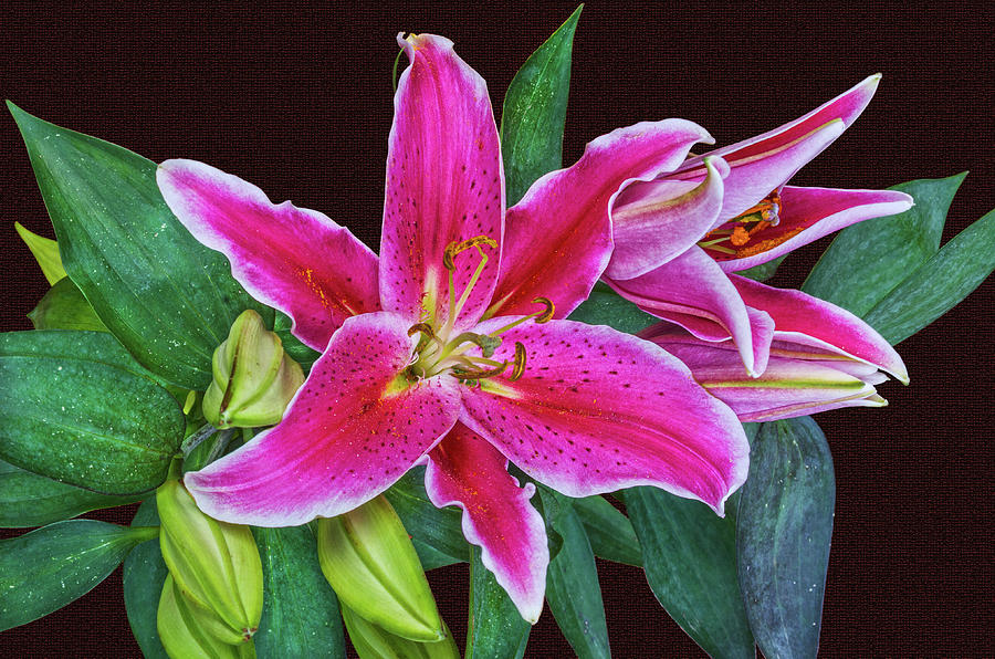 Lily Was One Of The Symbols Of The Roman Goddess Venus Photograph