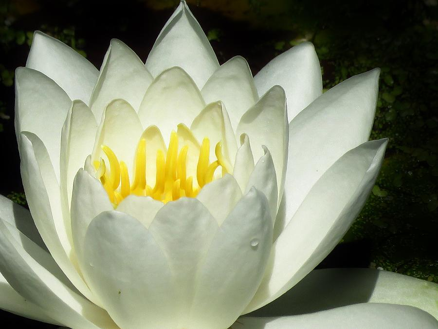 Water Lily Photograph - Lily White  by Lori Frisch
