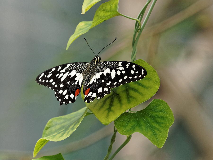 Lime/chequered swallowtail Butterfly by Paul Gulliver