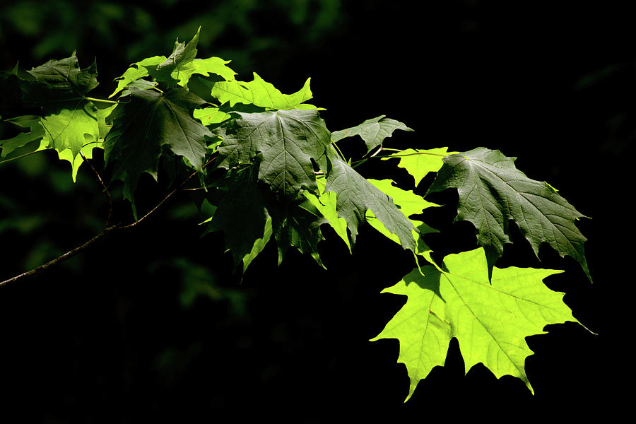 Summer Photograph - Limelighted Maples by Irwin Barrett