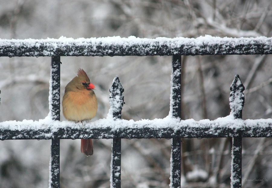 Limited Edition Female Cardinal Two by Diane Lindon Coy