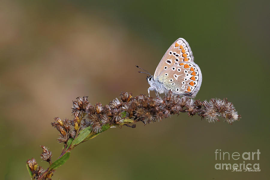 Butterfly Photograph - Limmigrant. by Denis Dumoulin