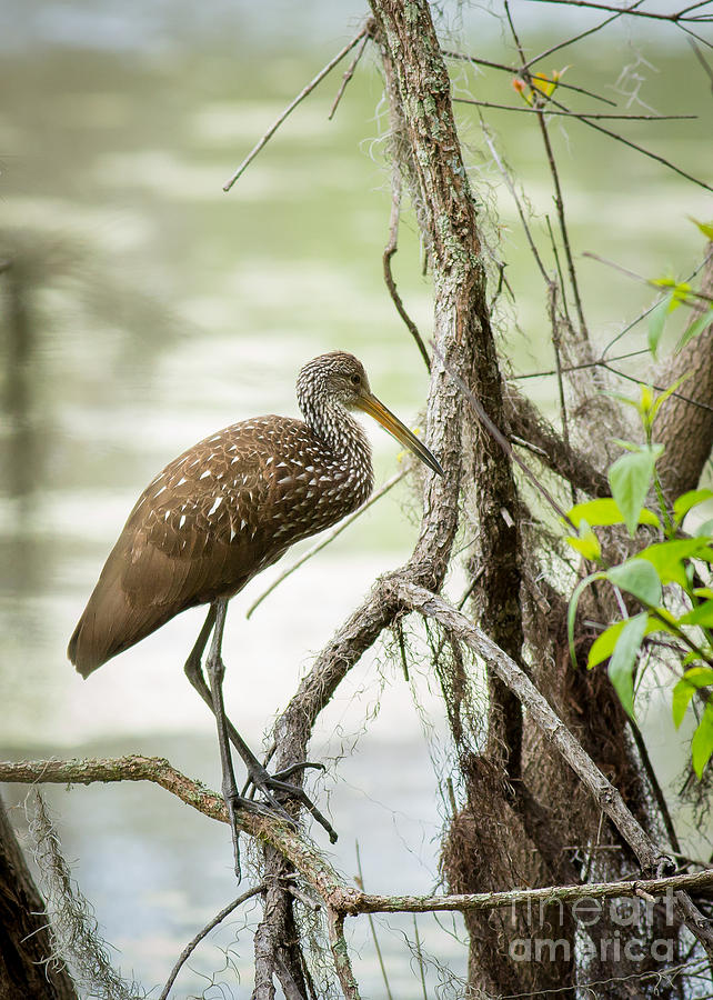 Limpkin by Brad Marzolf Photography