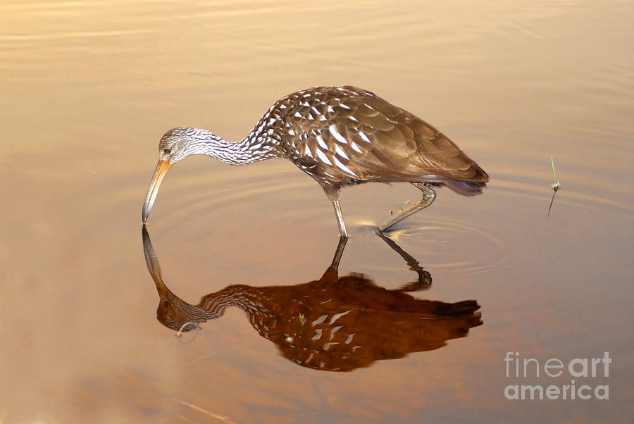 Limpkin Photograph - Limpkin In The Mirror by David Lee Thompson