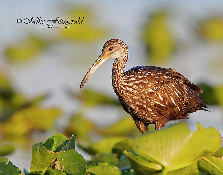 Limpkin on the Lake by Mike Fitzgerald