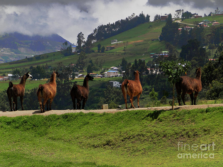 Line Photograph - Line-dancing Llamas At Ingapirca by Al Bourassa