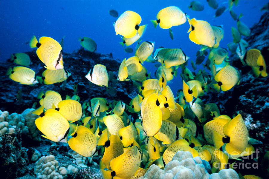 Blue Photograph - Lined Butterflyfish by Bob Abraham - Printscapes