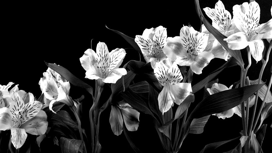 Lily Photograph - Lined Up by Diane Reed