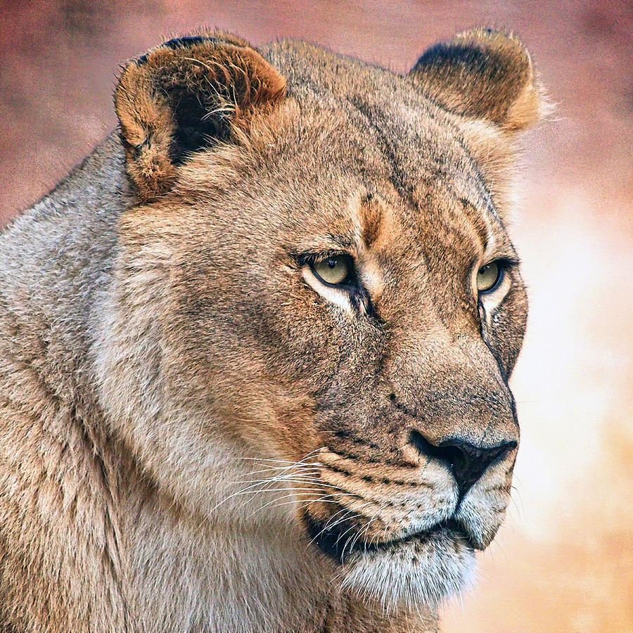 Lion 02 by Ingrid Smith-Johnsen
