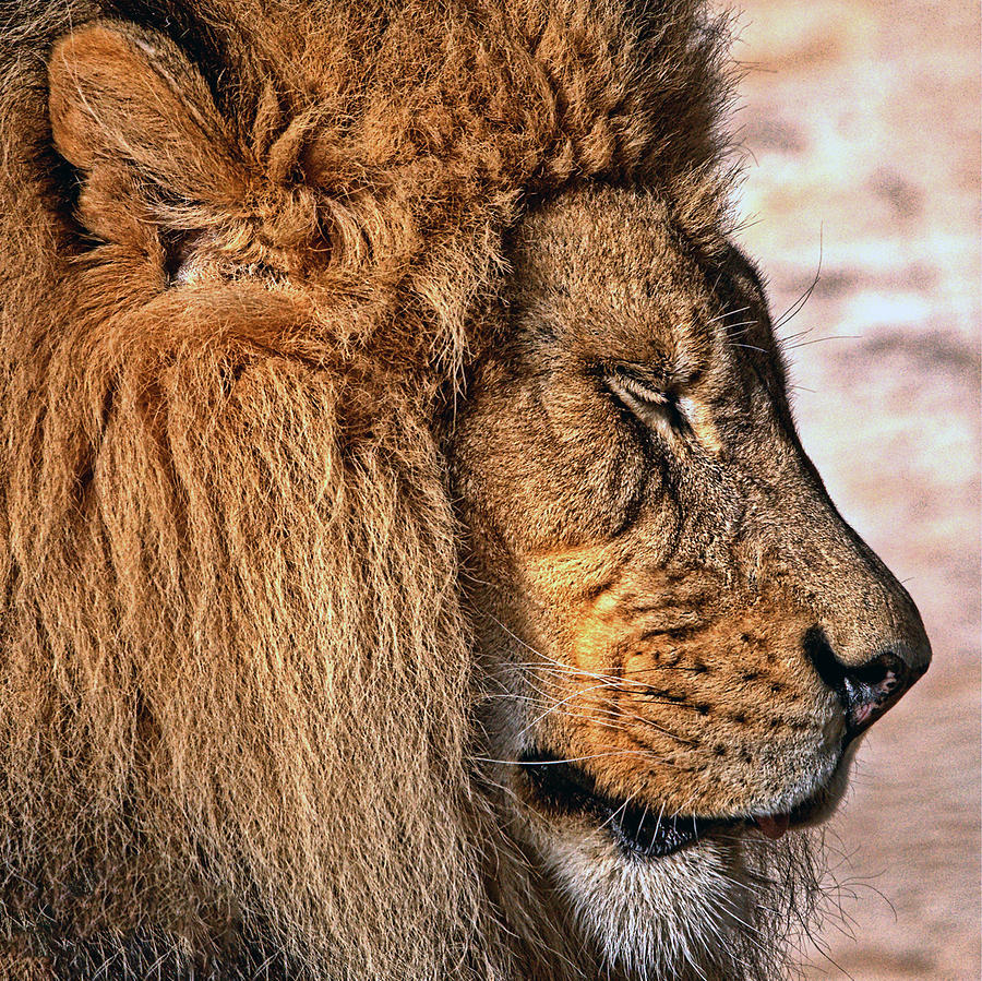 Lion 03 by Ingrid Smith-Johnsen