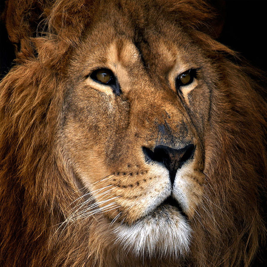 Lion 21 by Ingrid Smith-Johnsen