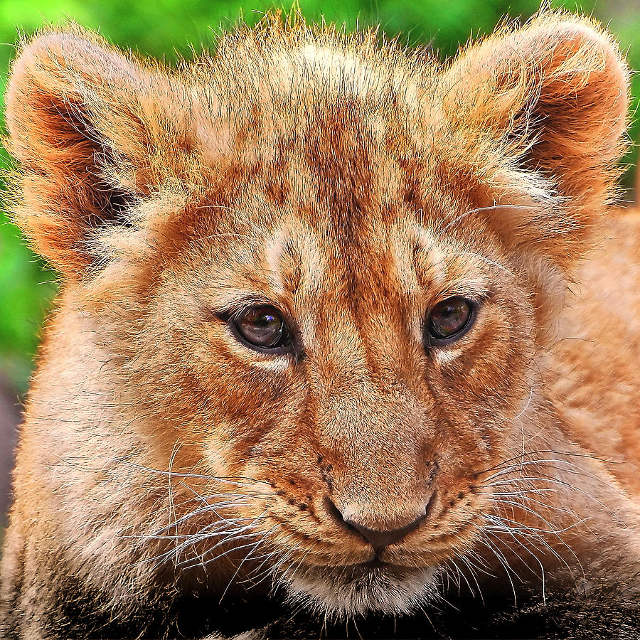 Lion 25 by Ingrid Smith-Johnsen