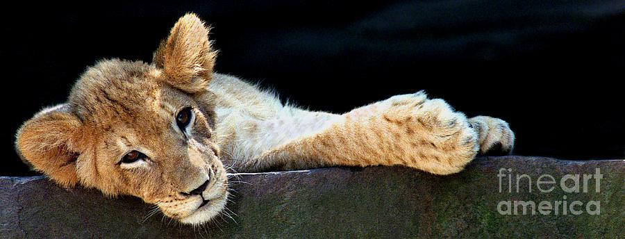 Lion 4 Pano by Rich Killion