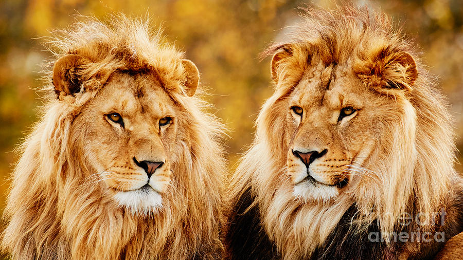 Lion Brothers Photograph