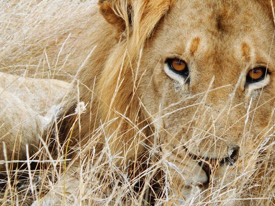 Lion Photograph - Lion Considering Irish Tartare by Patrick Murphy