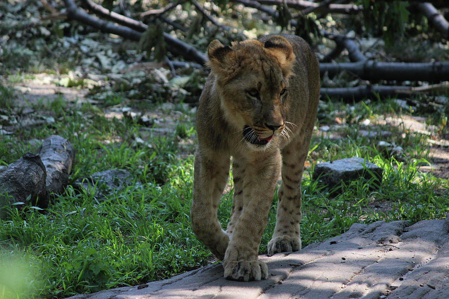 Lion Cub - Out for a stroll by Jake Danishevsky