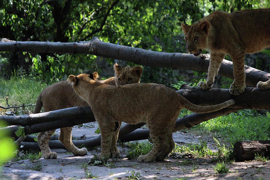 Lion Cubs by Jake Danishevsky